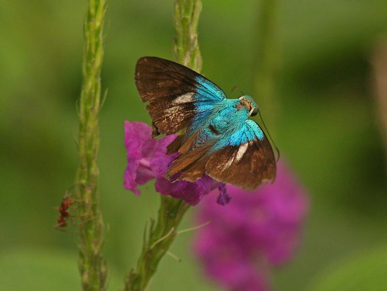 WB~CR Blue Butterflyandleafcutterant1280.jpg