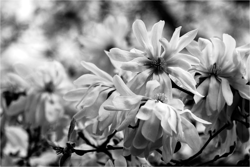 20120323_magnolia_04.png