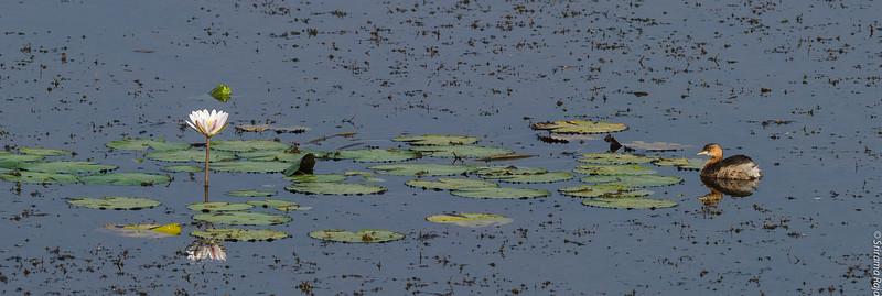 Frog and the Dabchick