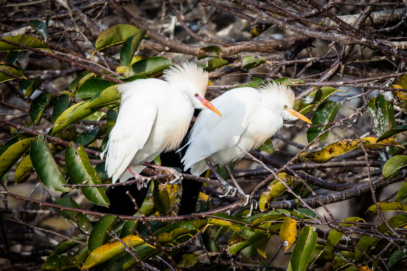 Cattle Egret Couple