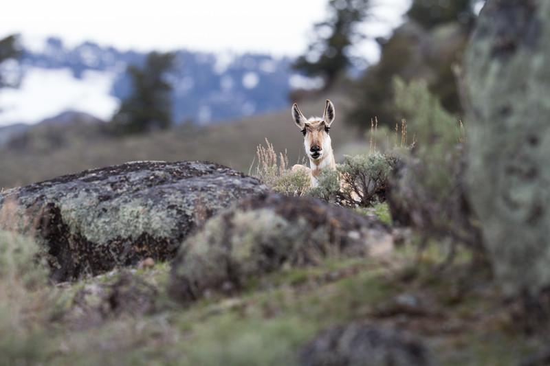 Pronghorn Yellowstone National Park WY IMG_7309.jpg