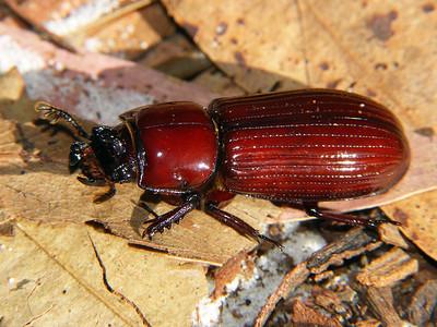 Passalidae - Bess Beetles