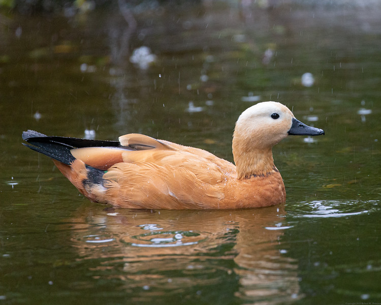 Rain on a Ruddy Shelduck