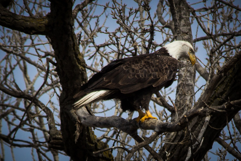 Eagle sitting-7031.jpg
