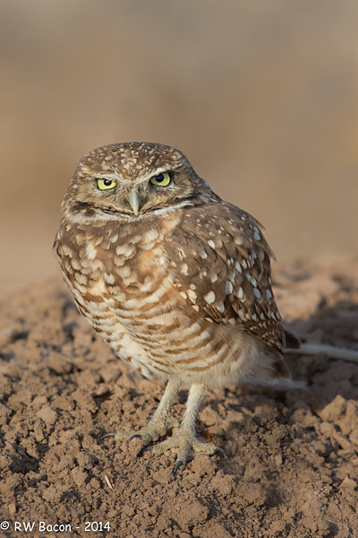 Salton Sea Burrowing Owl Stare.jpg