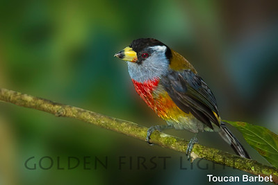 Toucan Barbet, Ecuador