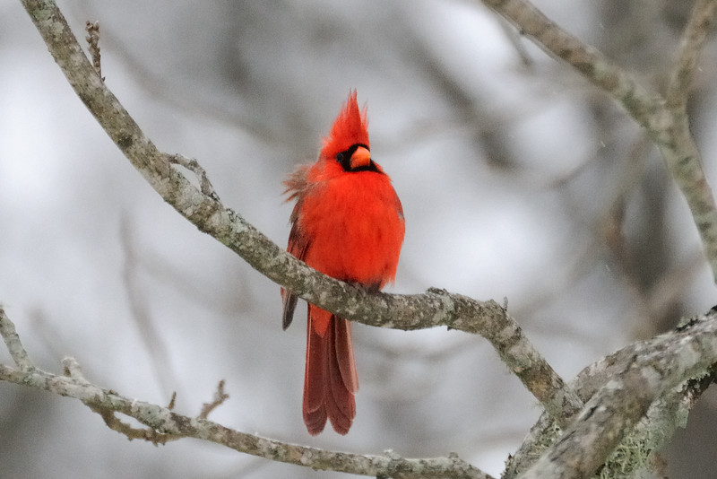 The birds were out in full force at the feeder.  I saw about six pair of cardinals.  For some reason I thought they would be like us, hibernating in a warmer area of the woods, but I guess they have to eat too.