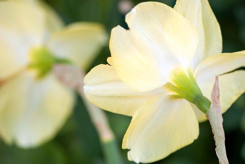 daffodilsback.jpg