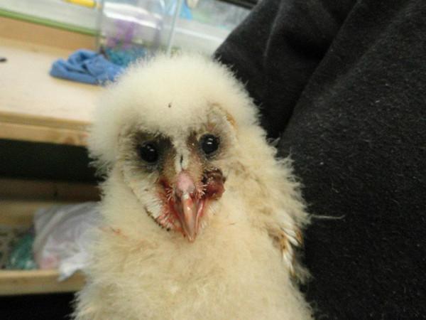 Injured Barn Owlet Owl Rescued