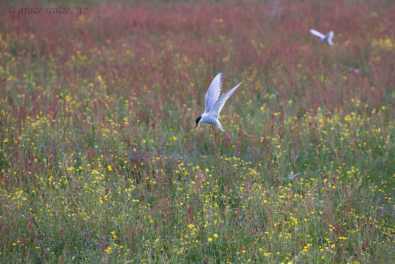 Arctic tern in flower field