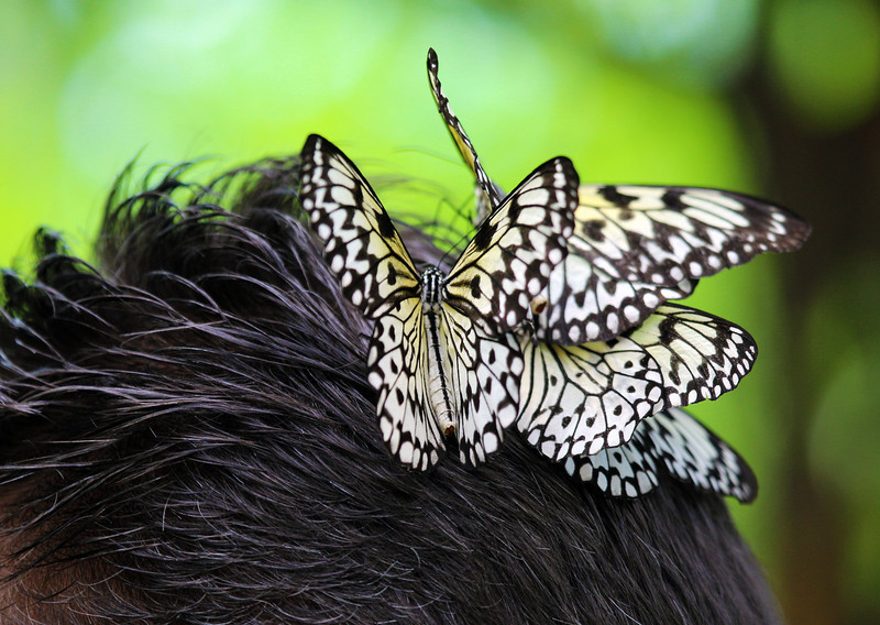 Three butterflies are attracted to this visitor's hair