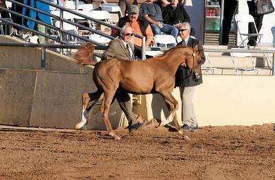 Thirteen Oaks Arabians