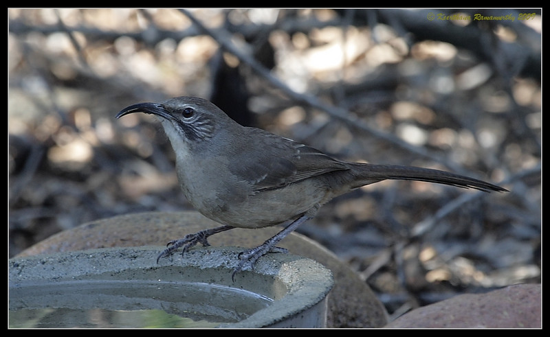 California Thrasher, The Drip, Cabrillo National Monument, San Diego County, California, November 2009