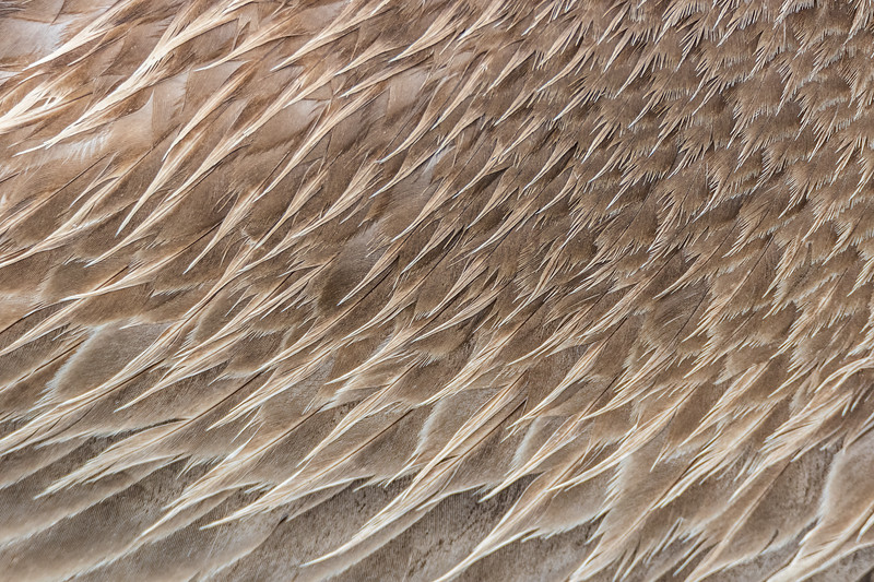 Brown pelican feather closeup
