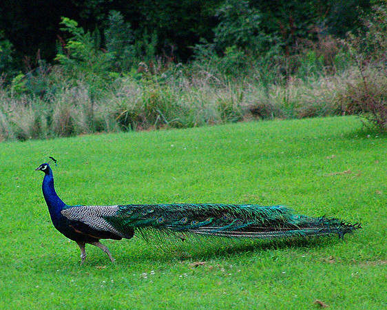 Peacock walking across the big field.