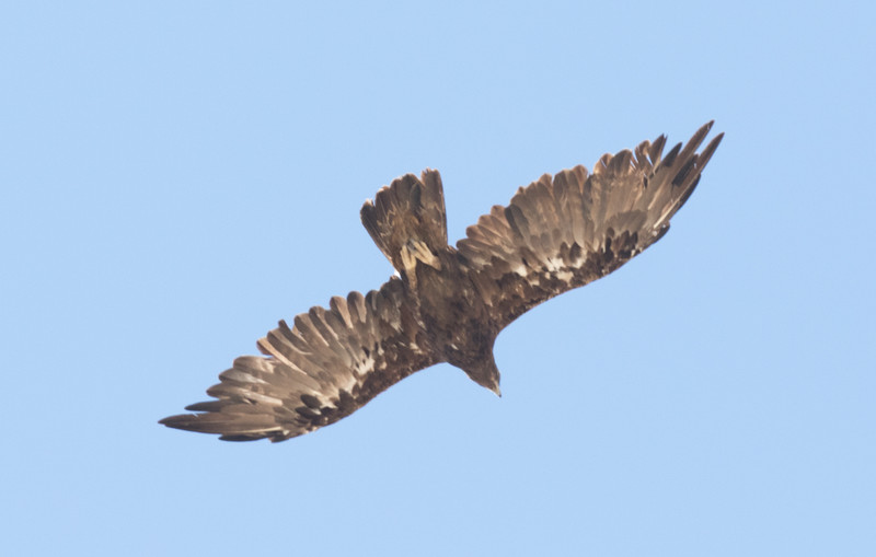 Golden Eagle  Lone Pine 2016 07 17-3.CR2
