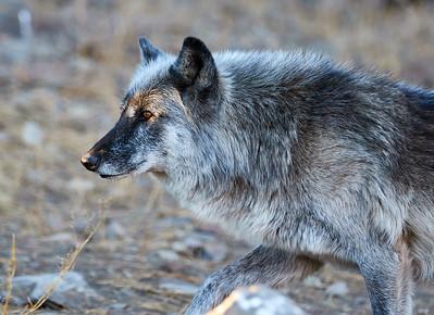 Rocky Mountain Wolf Foundation