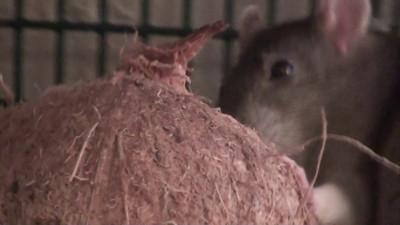 Rats Nom-Nom Coconuts