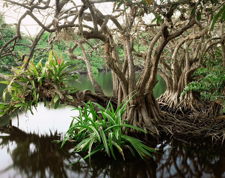 La Tovara Wetlands, San Blas, Nayarit/ Anonilla  (Rollinia jimenezii) with Crinum lilies in the roots and bromeliads in the branches in the heart of the swamp. 199H8 Mexico