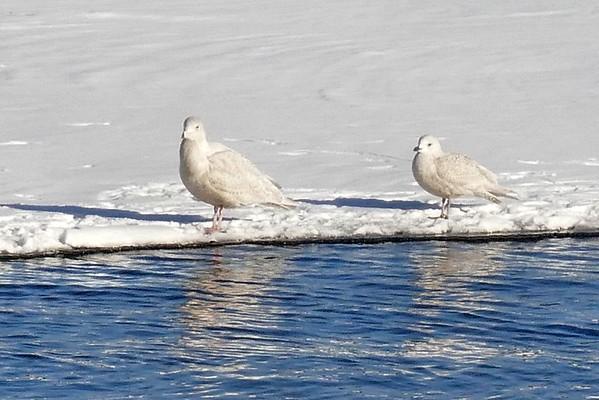Iceland/Glaucous Gulls