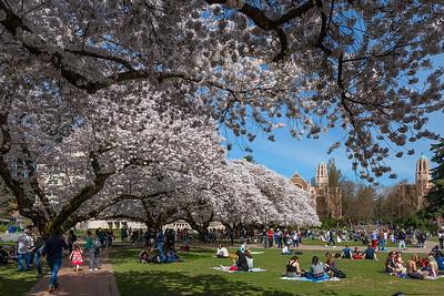 UW Cherry Blossoms 04.02.19