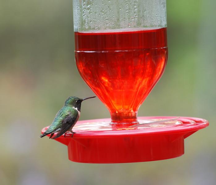 hummer feeder.jpg