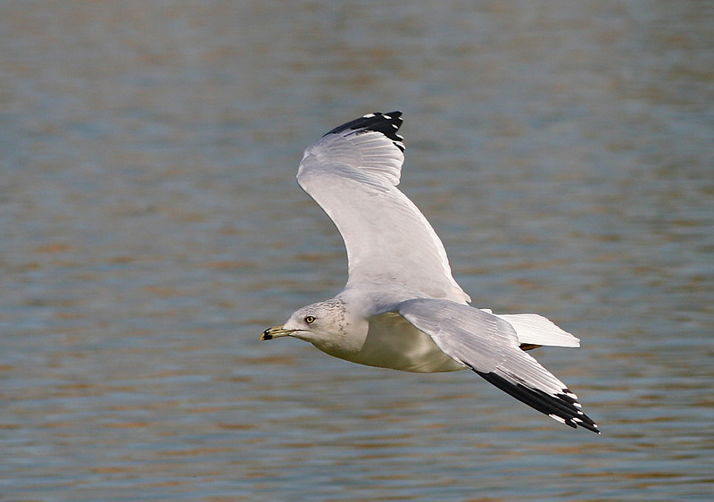 1856 Gull in Flight crop.jpg