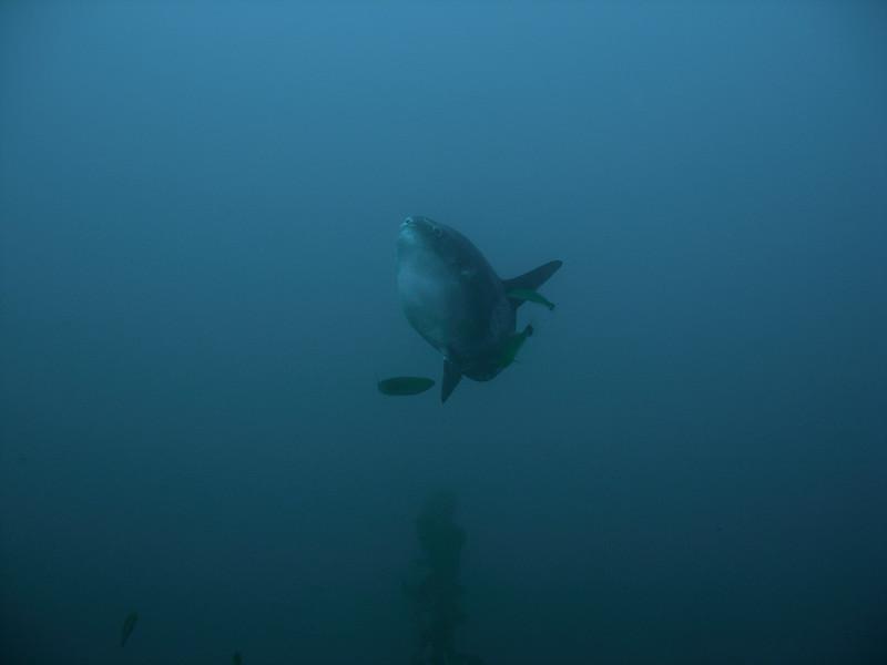 Seniotita cleaning Mola Mola