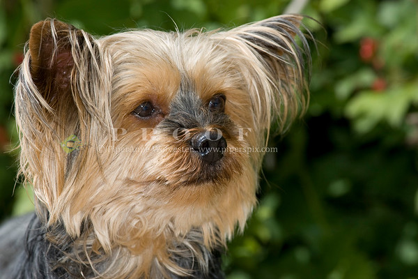 Yorkshire Terrier_CP