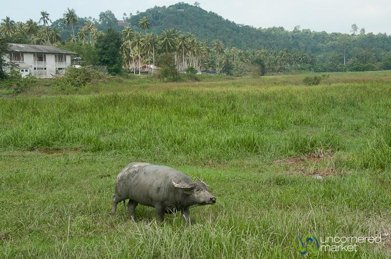 Water Buffalo on Koh Samui, Thailand