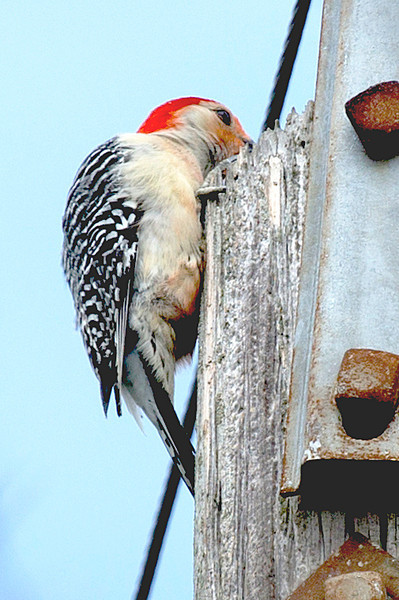 The red-bellied sap sucker pecking at the top of the pole.