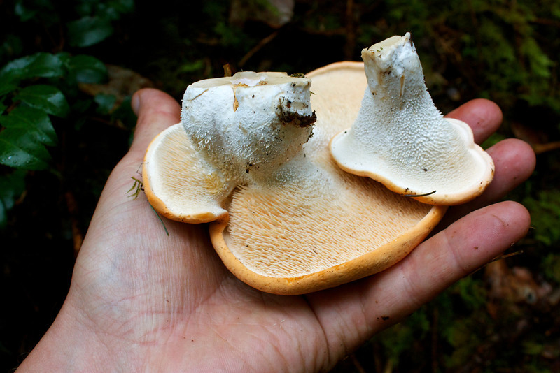 Hydnum repandum, Hedgehog Mushrooms