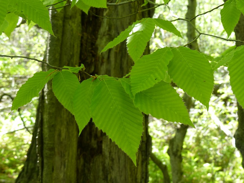 American Beech leaves