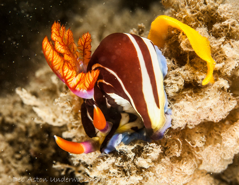 Nembrotha purpureolineata laying eggs.
