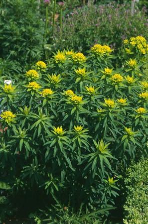 Euphorbia valdevillosocarpa.jpg