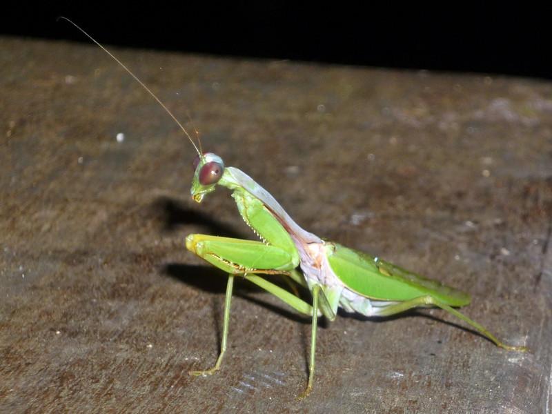 b mantis.JPG