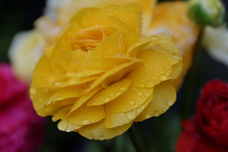 Ranunculus (1).jpg