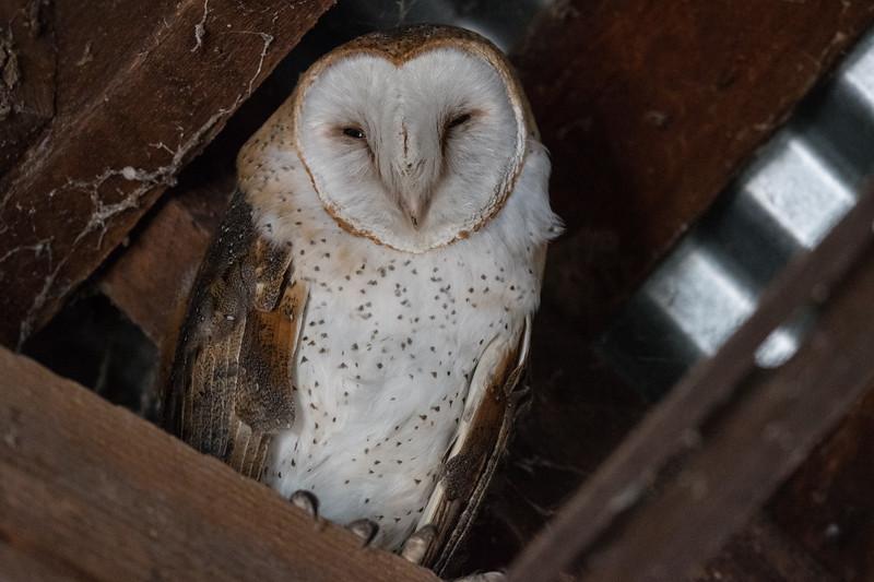 Barn Owl II.jpg