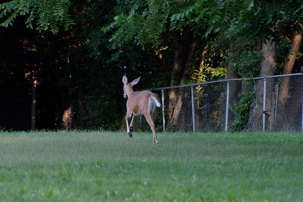 Three Deer Near 79th St. Lenexa, Ks 8.2.2015