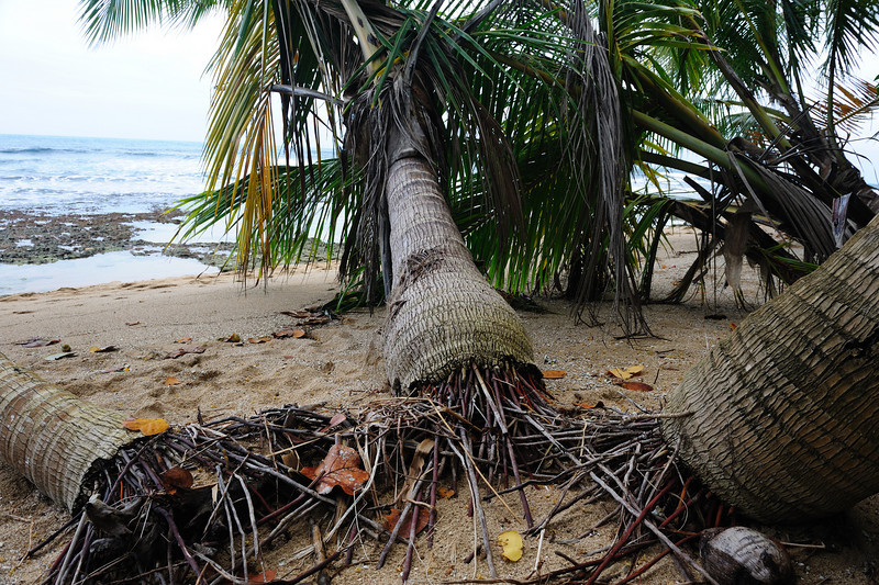 costa_rica_palm_roots_at_beach.jpg