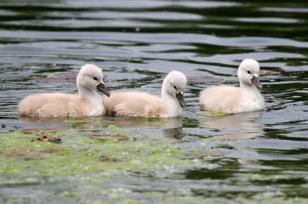 Mute swan - Lake Katherine Palos Heights