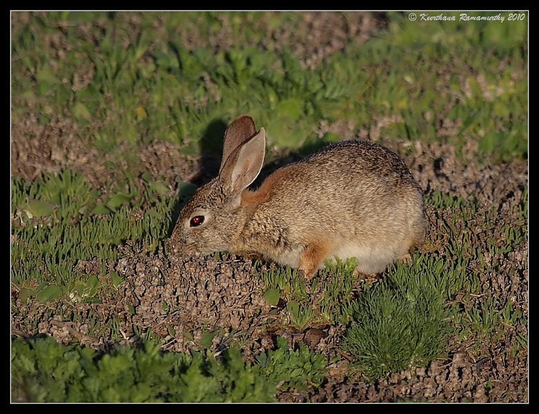 Brush Rabbit, Tijuana River Estuary, San Diego County, California, February 2010