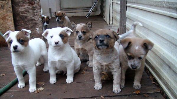 Ginger's 1st litter Fall 2012