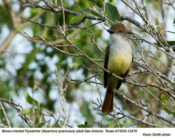 Brown-crested Flycatcher A12479.jpg
