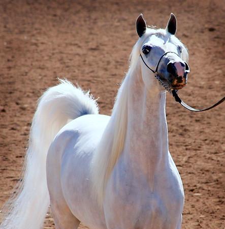 Scottsdale Arabian Horse Show 2006