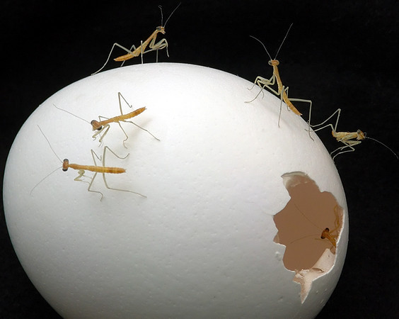 Newly Hatched Mantises