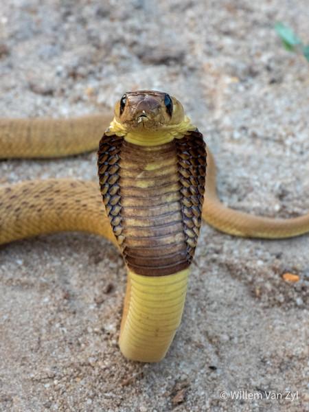 20190926 Cape Cobra (Naja nivea) from Stellenbosch, Western Cape