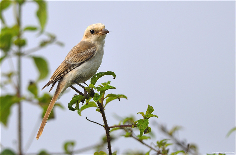 Brown-Shrike.jpg