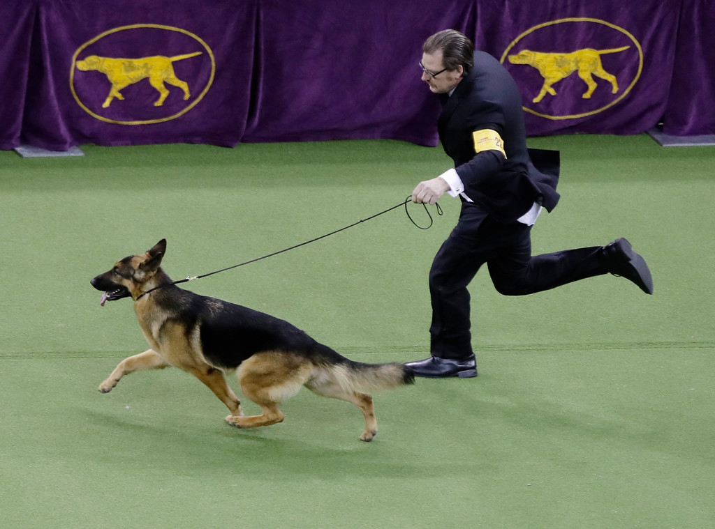 . Handler and co-owner Kent Boyles guides Rumor, a German shepherd who later won Best in Show, at the 141st Westminster Kennel Club Dog Show on Tuesday, Feb. 14, 2017, in New York. (AP Photo/Frank Franklin II)