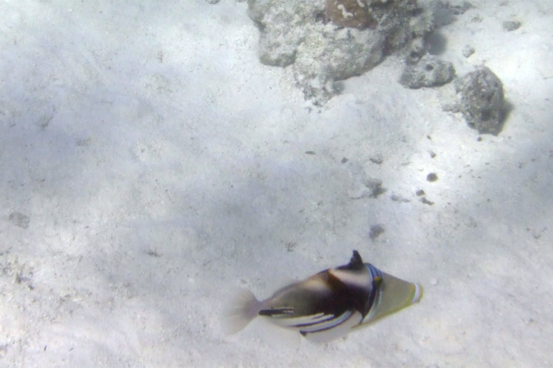 After Dr. Poole's talks on Moorea about lessening impact on the environment, I decided chumming the fish was a bad idea.  These Picasso triggerfish were so cool, but I never could get very close.
